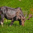 Stock Photo: Moose