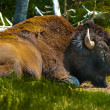 Yellowstone Buffalo — Stock Photo