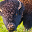 Stock Photo: Buffalo close-up