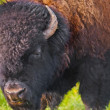 Buffalo close-up - Foto Stock