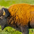 Buffalo close-up - Stockfoto
