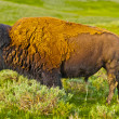 Buffalo profile - Foto Stock