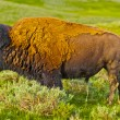 Buffalo profile - Stockfoto