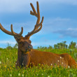 Male elk with large antlers - 图库照片