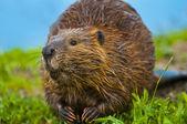 Wild Beaver — Stock Photo