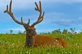 Male elk with large antlers — Stock Photo
