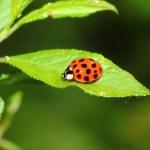 Ladybug — Stock Photo #10529108