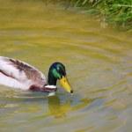 一只野鸭 — 图库照片