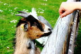 Pygmy goat — Stock Photo