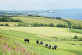 Cattle in field and east coast Berwickshire — Stock Photo