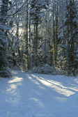 Forest in the snow and sunlight — Photo