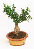 Bonsai plant — Stock Photo