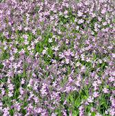 基金紫罗兰花 — 图库照片