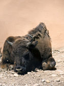 Buffalo resting — Photo