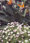 Strelitzia flowers — Stock Photo