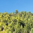 Canarian pines — Stock Photo