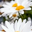 Daisies — Stock Photo #9114047
