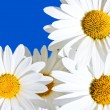 Daisies — Stock Photo #9114151