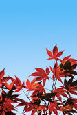 Acer palmatum, Red Maple - with clipping path — Stock Photo