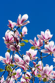 Beautiful branches of pink magnolia flower over blue sky — Stock Photo