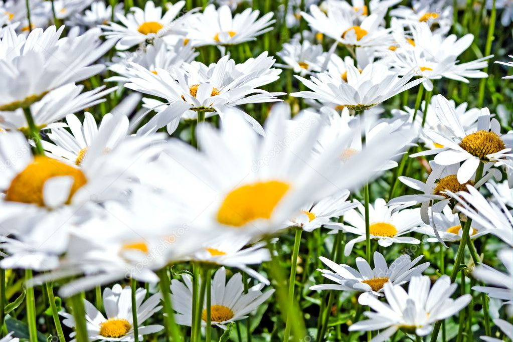 Close up on a delicate group of white daisies. Serenity, freshness, spring concept. — Stock Photo #9114067
