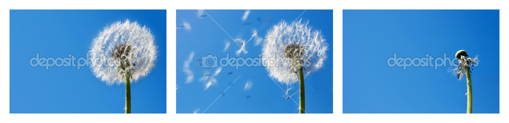 Triptych with the sequence of a dandelion seeds flying in the wind. Blue sky background. Useful for spring themes or - time passing by - concepts. Space for cop — Stock Photo #9133411