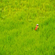 Royalty-Free Stock Photo: Green rice field