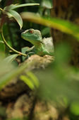 Green lizard in jungle watching you — Stock Photo