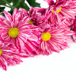 Chrysanthemum flower — Stock Photo #9461023