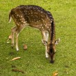 Deer on the grass — Stock Photo