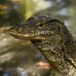 Water monitor (Varanus Salvator) — Stock Photo