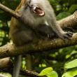 Grinning macaque — Stock Photo