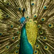 Indian Blue Peafowl — Stok fotoğraf