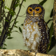 An owl — Stock Photo