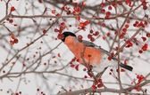 Bullfinch and wild apples — Stock Photo