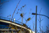 Sparrows in the city on branches — Stock Photo