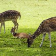 Deers in the park — Stock Photo