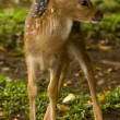 Baby deer - Stockfoto