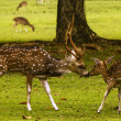 Two deers on the grass — Stock Photo