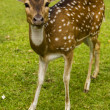 Deer on the grass - Stock Photo