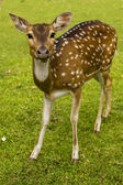 Deer on the grass — 图库照片