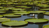 Giant water lily — Stock Photo