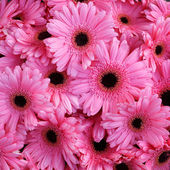 Beautiful pink flower gerbera — Stock Photo