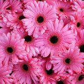 Hermosa flor de color rosa gerbera — Foto de Stock