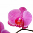 Pink orchid isolated on a white background — ストック写真