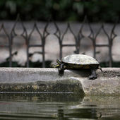 Waterfowl turtle — Stock Photo
