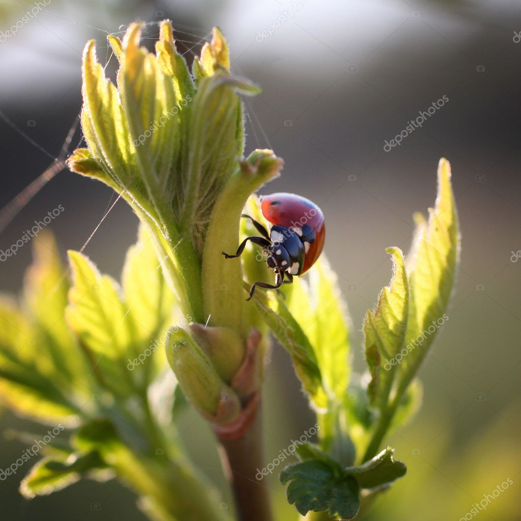 Ladybug on leaves. insect on natural background — Stock Photo #7988302