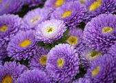 The texture of the purple asters — Stock Photo