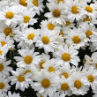 Bakground with white camomile flowers - Stock Photo