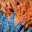 Stock Photo: Background picture of orange and blue flowers